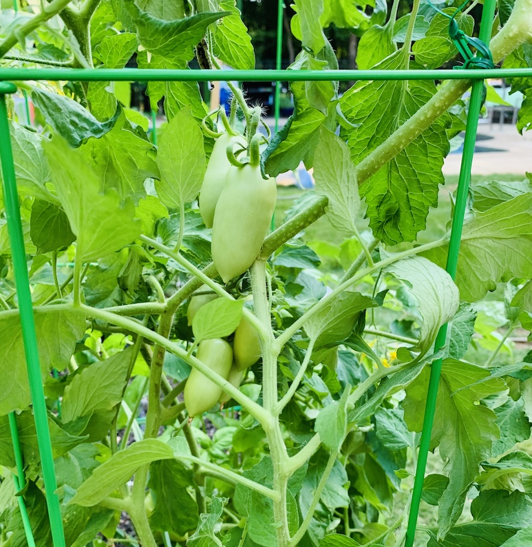 Green Roma tomatoes growing in a huge tomato plant.
